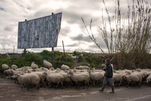 February 4, 2014 – Castel Volturno, Italy: A flock of sheep grazing near some land where toxic waste was found.