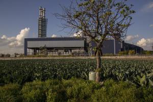 November 4, 2014 – Acerra, Italy: A camp of cauliflower near the Acerra incinerator.