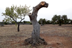 August 10, 2015 – Racale, Italy: Olive trees show signs of infection by Xylella fastidiosa.
