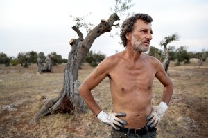 August 10, 2015 – Racale, Italy: A farmer working in his field where olive trees show signs of infection by Xylella fastidiosa.