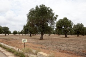 August 11, 2015 – Specchia, Italy: An olive grove for sale after the release of infection by Xylella fastidiosa.