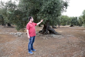 "August 10, 2015 – Racale, Italy: Federico Manni, member of the Agricultural Society Cooperative ""Acli Racale"" is portrayed in an olive grove where trees show signs of infection by Xylella fastidiosa."
