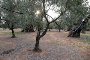 August 10, 2015 – Felline, Italy: Olive trees show signs of infection by Xylella fastidiosa.