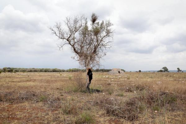 Xylella fastidiosa in Puglia