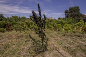 A plant of cannabis light in a field in Ercolano, Southern Italy on September 27, 2018. According to the Italian law 242 approved in December 2016, the production and marketing of hemp in Italy is legal if cannabis has a content of THC (tetrahydrocannabinol, the active ingredient) which doesn't exceed 0,6%.