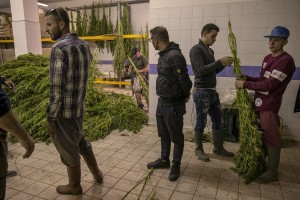Men are getting canapa light plants dried, just collected in a field in Ercolano inside a store of Caivano, Southern Italy on September 26, 2018. According to the Italian law 242 approved in December 2016, the production and marketing of hemp in Italy is legal if cannabis has a content of THC (tetrahydrocannabinol, the active ingredient) which doesn't exceed 0,6%.