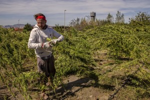 A man collects cannabis light plants in a field in Ercolano, Southern Italy on September 27, 2018. According to the Italian law 242 approved in December 2016, the production and marketing of hemp in Italy is legal if cannabis has a content of THC (tetrahydrocannabinol, the active ingredient) which doesn't exceed 0,6%.