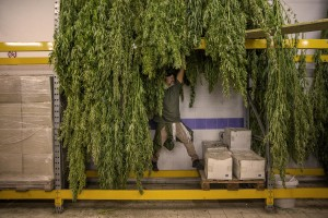 A man is getting canapa light plants dried, just collected in a field in Ercolano inside a store of Caivano, Southern Italy on September 26, 2018. According to the Italian law 242 approved in December 2016, the production and marketing of hemp in Italy is legal if cannabis has a content of THC (tetrahydrocannabinol, the active ingredient) which doesn't exceed 0,6%.